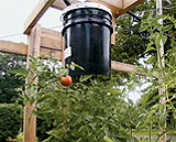 Growing tomatoes upside down using a plastic bucket